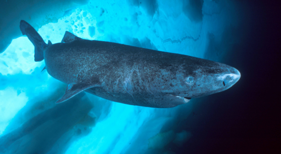 Mysterious giant shark tracked by satellites, rare sightings